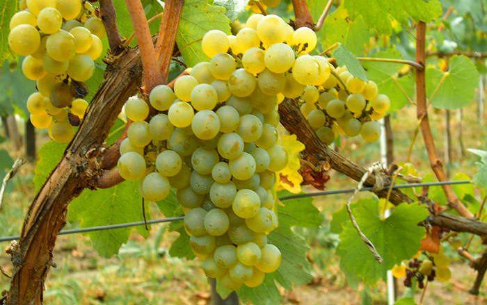 Chardonnay, vitigno